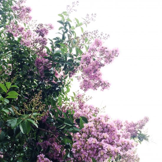 purple flowers against a white sky