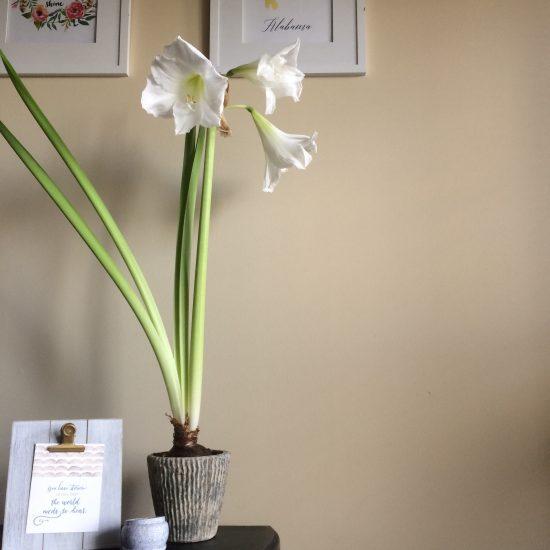 amaryllis bulb... blooming!
